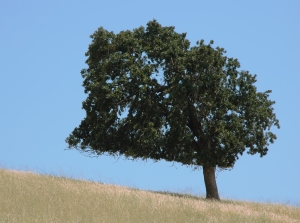 Lone_tree_on_a_summer_hillside