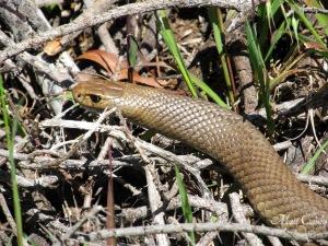 Wiki brown snake