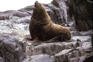 wiki seal