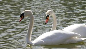 wiki swans