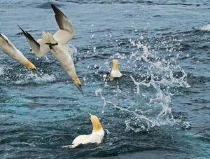 gannet-diving